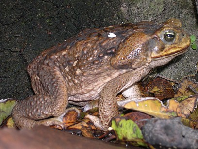 A giant toad lives in the garden.  He must weigh a pound and a half.