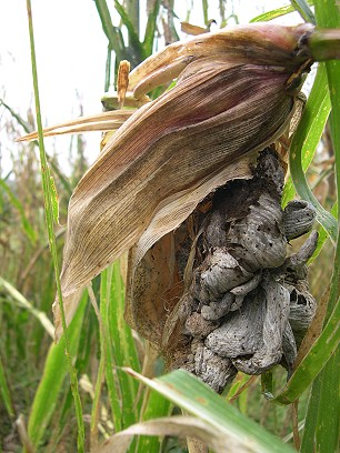 Corn season is past.  What we call corn smut, a black fungus that attacks the kernels, is known here as huitlacoche--Mexican caviar.  It is delicious in quesadillas.  Here it is old and dried out.