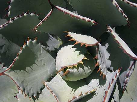"Ever see ""Little Shop of Horrors?""  An agave."
