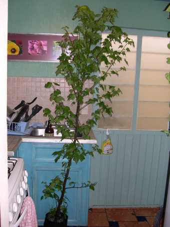 We moved the Liquidambar into the kitchen...