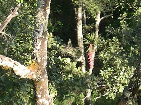 Taken from atop a cliff.  In the middle of the photo you can see a large bromeliad in flower.  It looks like a Billbergia.