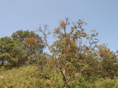 Some trees have a flowering parasite