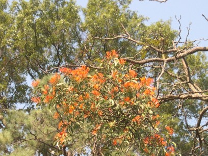This parasitic plant is very common in Guadalajara