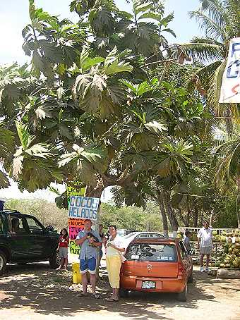 On our last day we stopped at a tropical fruit stand, and parked under a yaka tree.