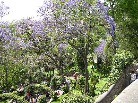 The blue-flowered trees are jacaranda. They are just covered with flowers in the Spring.